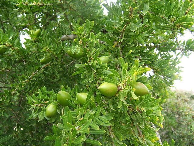 Argania żelazna (Argania spinosa L.)  Jest to gatunek drzewa, z nasion którego wytwarzany jest olej. Olejek arganowy jest jednym z najskuteczniejszych produktów wykorzystywanych do pielęgnacji twarzy. Utrzymuje on cerę w zdrowiu i nadaje jej świeży, promienny wygląd. Skutecznie wygładza zmarszczki, likwiduje przebarwienia i niedoskonałości skóry.