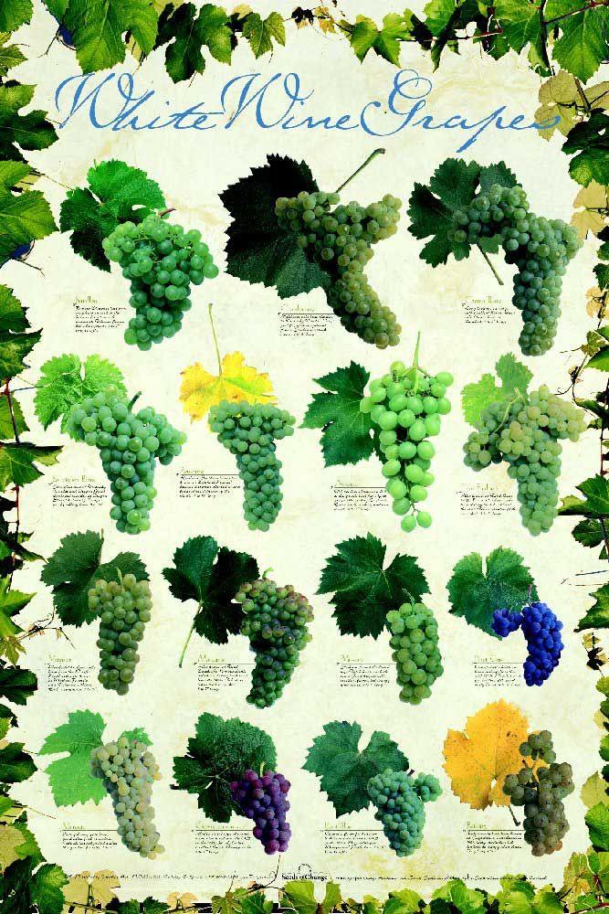 Racimos de las diferentes variedades de uvas blancas #WineUp