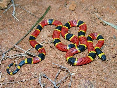 Cobra-coral-verdadeira (Micrus)