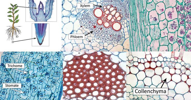 Types of Plant Cell - Definition, Structure, Functions ...