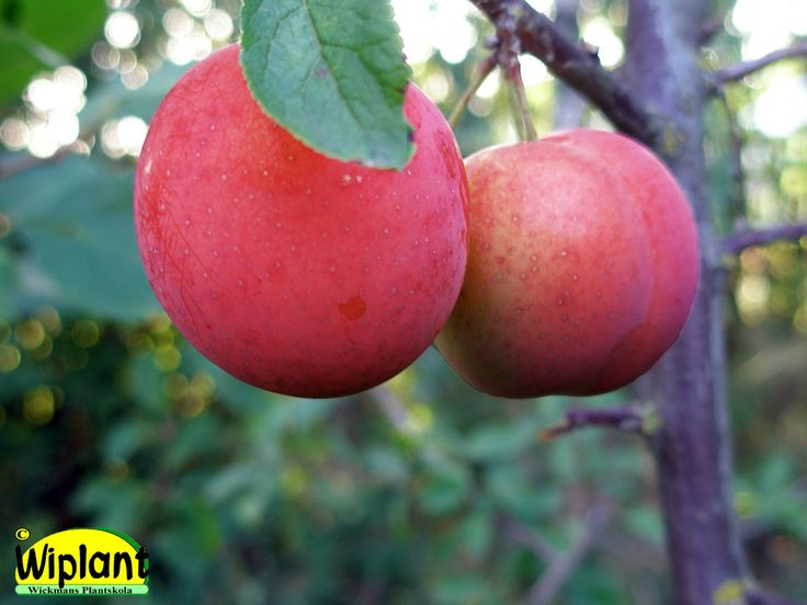 Prunus domestica 'Kometa', Körsbärsplommon. Stora violettfärgade plommon i slutet av sept. Zon III-?