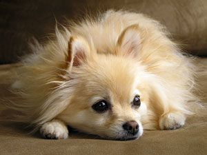 Miniature Dogs - Toy Dog Breeds- Pomeranian