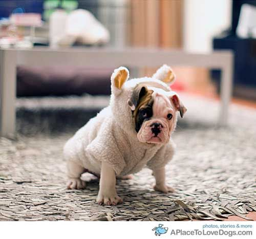 I need this for meatballBulldogs Puppies, French Bulldogs, Dogs Costumes, English Bulldogs, Pets, Baby Bulldogs, Baby Animal, Sheep, Bull Dogs
