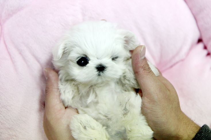 This teacup maltese puppy is so so tiny and sooooo cute!! can you believe this enormous cuteness?! Ask us now! 1209jms@hanmail.net