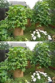 Выращивание огурцов в бочке - Садоводка