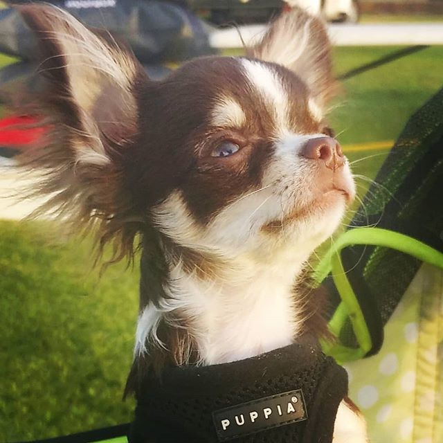 Beauty Is In The Eye Of The Beholder Chihuahuasonly Chihuahua Feature Chihuahua Chihuahuasofinstagram Chih Chihuahua Love Chihuahua Puppies Chihuahua Dogs