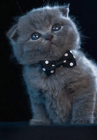 Blue Scottish Fold kitten....wearing a bowtie.... Cats, Folding Kittens Wear, Bows Ties, Blue - simonscat.com