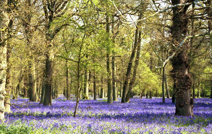 Bluebell wood  ©VixSouthgate2012