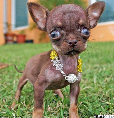 "World's smallest female dog (0.37 lb) - that is one UGLY dog!  A case of ""it's so ugly it's cute!"""