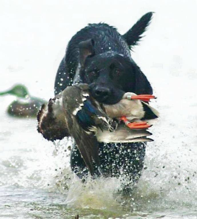 A wonderful dog with a double-banded green head.