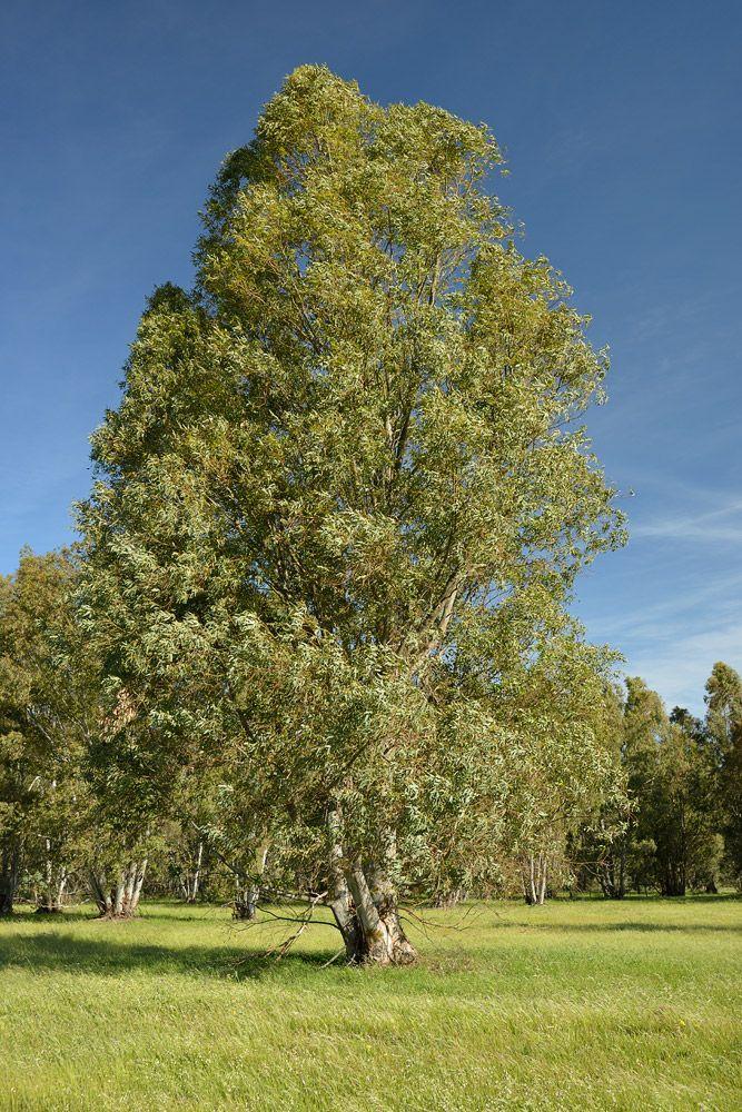 Arboles Ibericos - Eucalyptus