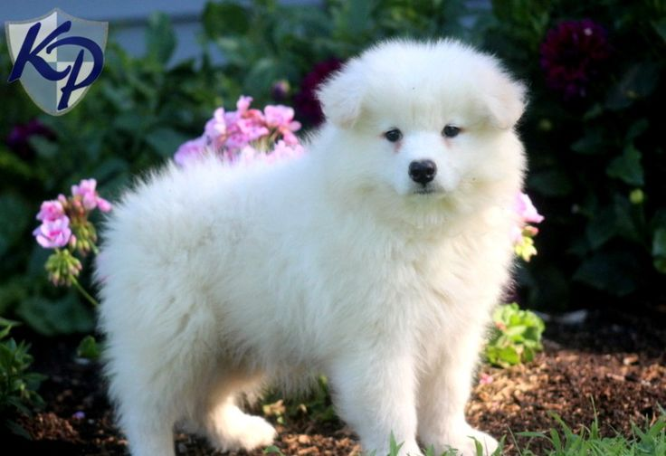 Mini Samoyed Puppies for Sale | wanwanwo | Pinterest ...