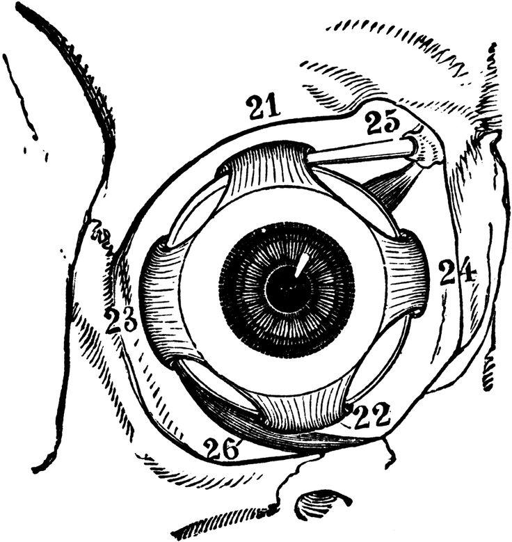 34 best eye anatomy images on pinterest