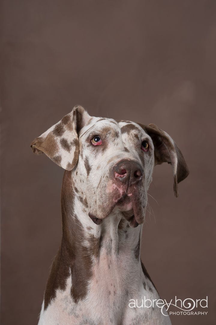 Dog Portrait Of Chocolate Harlequin Great Dane By Maui Pet