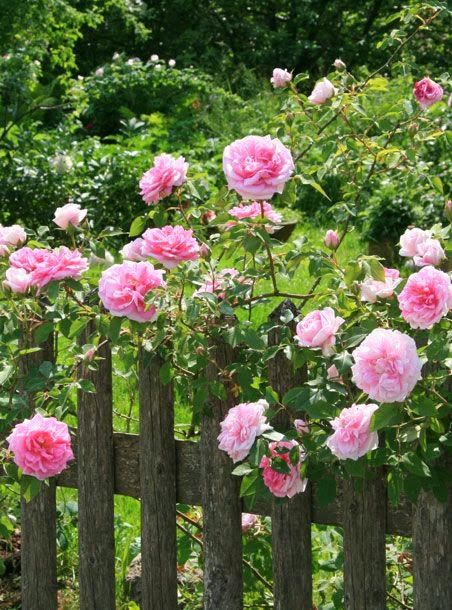 English Rose Gardens .......rose bushes are always beautiful sharing the space with medium wooden fencing...the more rustic the fence the better....
