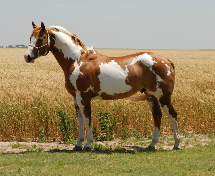 Looking for Paint Horses for Sale                                                                                                                                                     More