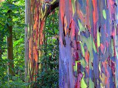 L'Eucalyptus deglupta est un arbre originaire de l'île de Mindanao ( Philippines ) qui doit sa célébrité à son écorce.