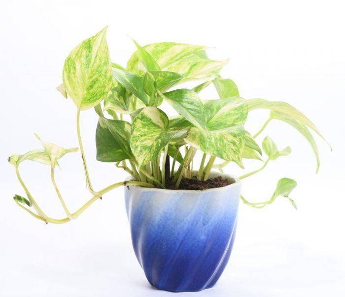Money Plant – Money Plants