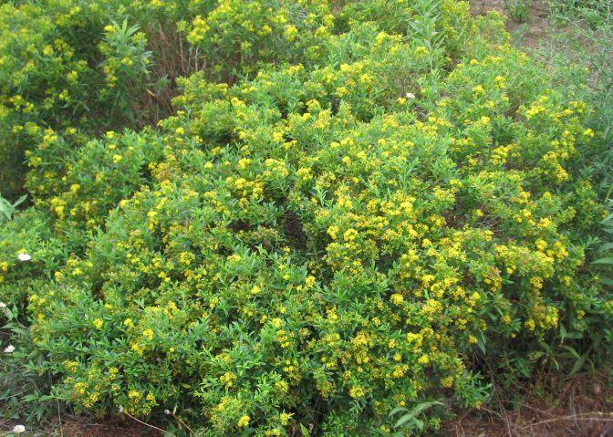 116 best georgia native plants images on pinterest