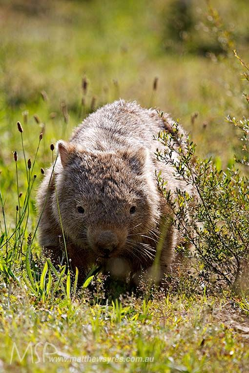Another early rising Common Wombat - this one really not sure what the hell he's looking at (me!).