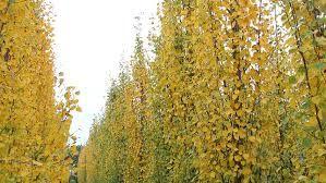 Swedis Aspen Populus tremula 'Erecta' Zone 3 20-30' height, 3-5' spread