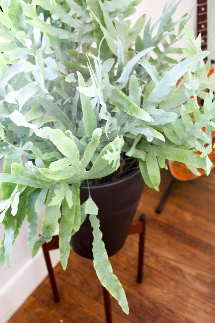 16 best images about phlebodium zinkvaren on pinterest shops rabbit foot fern and greenhouses. Black Bedroom Furniture Sets. Home Design Ideas