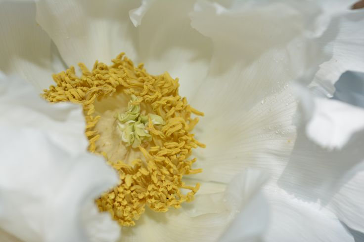 Peonia bianca