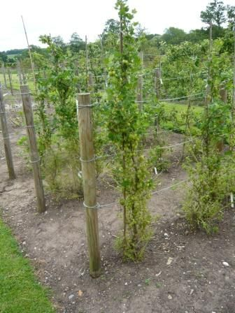 Gooseberry Training and Growing Tips