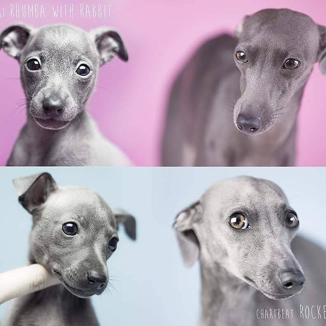 My girls 13 months later ❤ #italiansighthound #italiangreyhound #iggy #changes #levretka #piccololevrieroitaliano #italienischeswindspiel #italienskvinthund #levrieritalien #galgoitaliano #pink #thinkpink #dog #dogphotography #animal #animalphotography #chartbeat #polska #warszawa #charcikwloski #puppy #grow