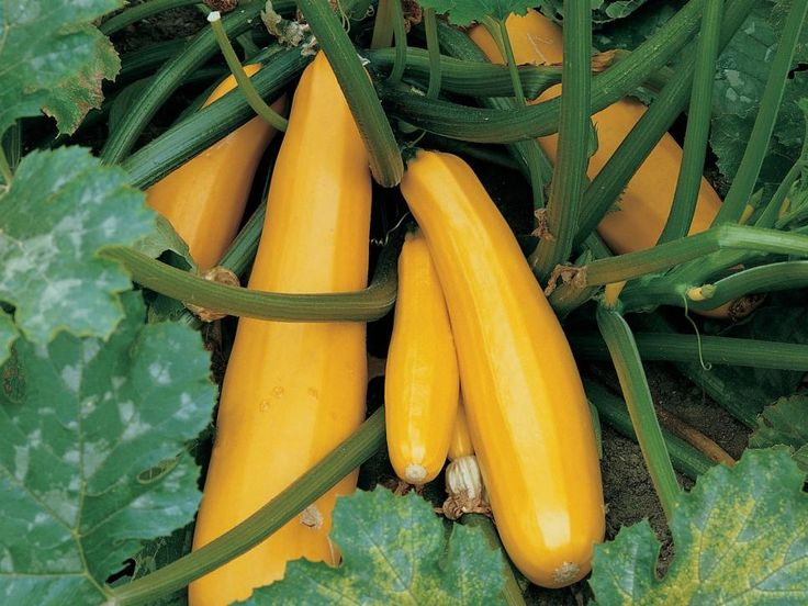 How many types of squash can you name? Summer or winter, add one of these colorful varieties to your garden.