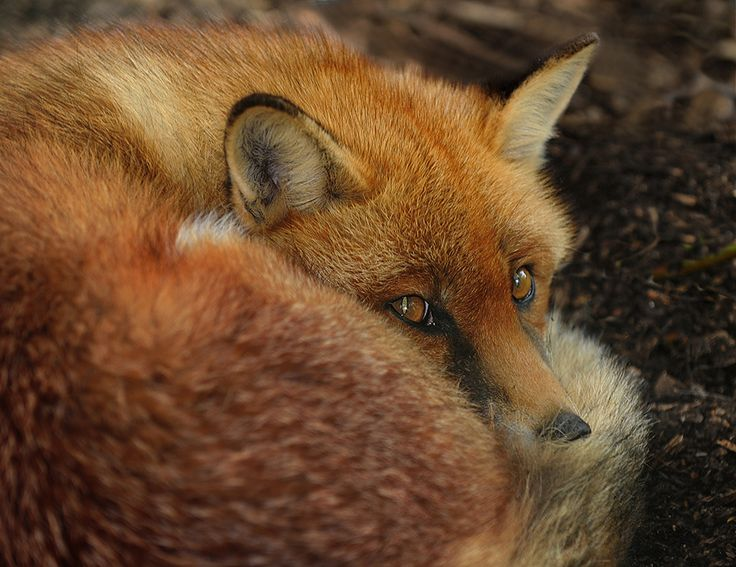 Fox by Ronald Coulter on 500px