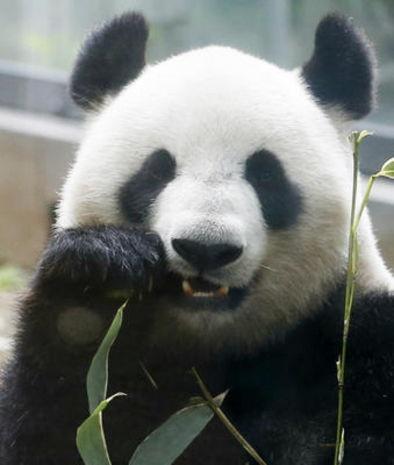 Giant panda Shin Shin eats bamboo inside her glass enclosure at Tokyos Ueno Zoo. Associated Press