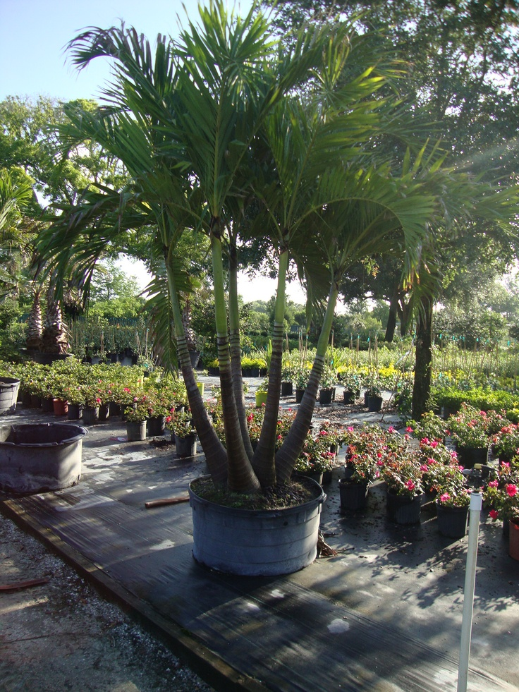25 trending palm tree types ideas on pinterest palm - A gardener is planting two types of trees ...
