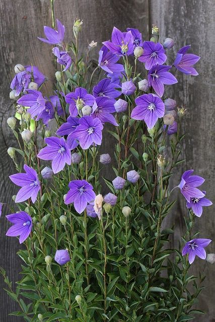 Balloon Flower, Chinese Bell Flower (Platycodon grandiflorus)--this is a favorite of mine.