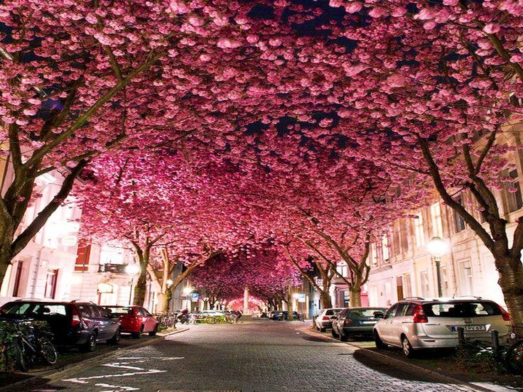 Cherry Blossom Avenue, Bonn, Germany Amazing Nature