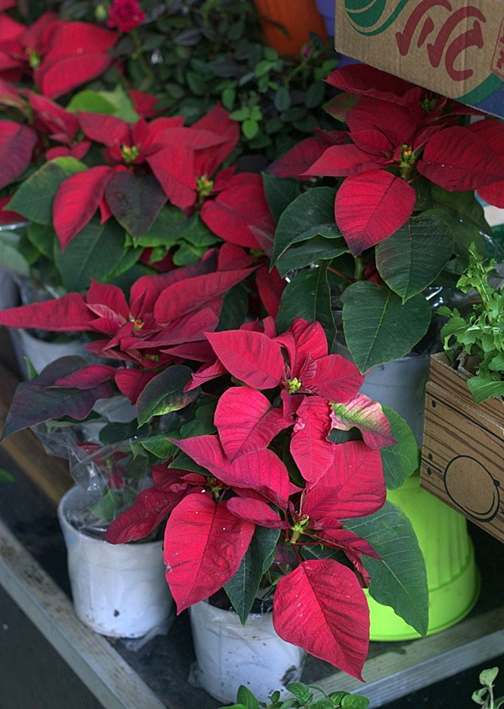 Poinsettias in a flower shop in Tel Aviv #christmas #poinsettia #nelkytplusblogit #telaviv