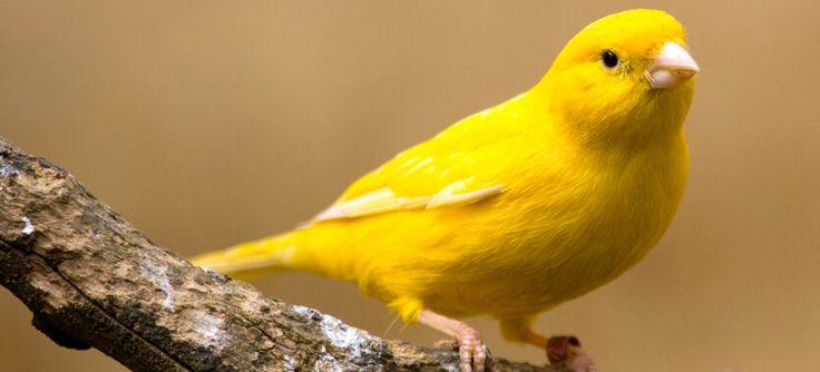 Wissenswertes zu Kanarienvogel