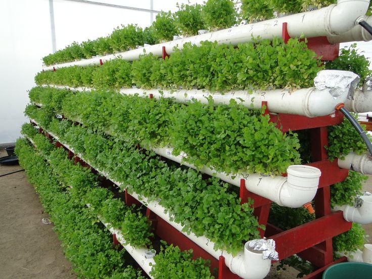 O cultivo hidropônico em regiões semiáridas mostra-se como alternativa viável para a produção de alimentos