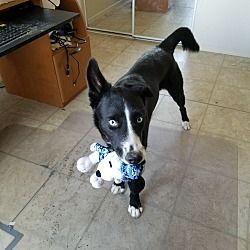 Litchfield Park, Arizona - Border Collie. Meet Maggie - Only $75!!!!!, a for adoption. https://www.adoptapet.com/pet/21147805-litchfield-park-arizona-border-collie-mix