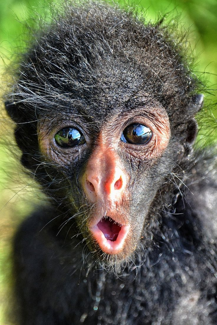 Spider Monkey Infant, Bolivian Amazon. I truly love animals but I'm sorry, this is one ugly monkey.