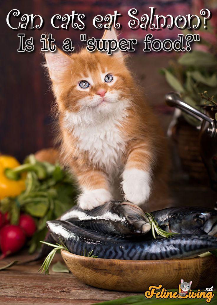 Is It A Super Food For Felines Too In 2020 Cat Food Cat Nutrition Wellness Cat Food