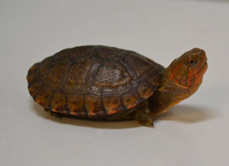 Baby red cheeked mud turtles for sale