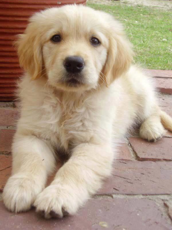 Golden Retriever Puppy Goldenretrieverpuppies Cute2017puppynames Hunde Retriever Welpen Babyhunde