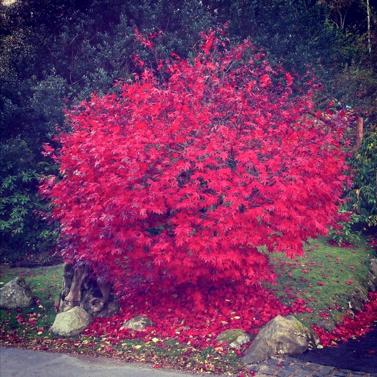 Acer in Troutbeck