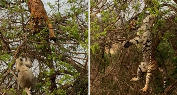 Este Tigre Ainda Está a Aprender Como Se Caça Em Cima De Uma Árvore