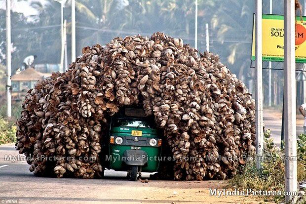 Overloaded coconut transport in India.