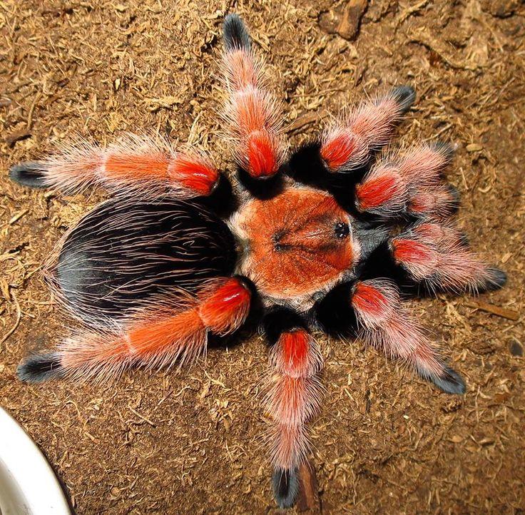 Pet tarantula on face - photo#27