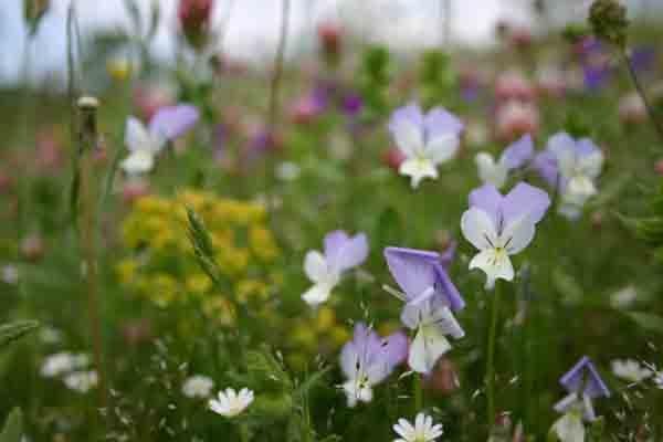 Viola etrusca, Monte Labbro