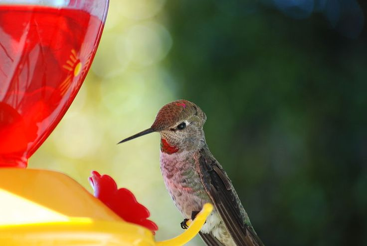 http://crazyhorsesghost.hubpages.com/hub/The-Best-Ever-Hummingbird-Food-Recipe