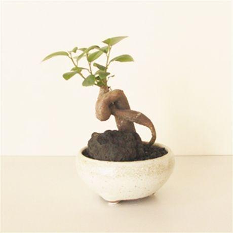 ガジュマル盆栽 bonsai